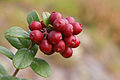 Cowberries (6100998084).jpg