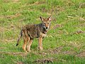 Coyote Hunting Rodents in Santa Teresa County Park (30035275514).jpg