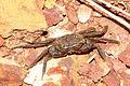 Crab 06505.JPG