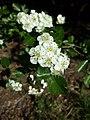 Crataegus laevigata (subsp. laevigata) sl22.jpg