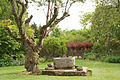 Crathes Castle garden tree.jpg