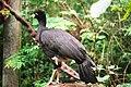 Crax fasciolata -Parque das Aves-8.jpg