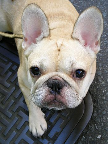 A cream-coloured French Bulldog.