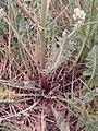 Crepis foetida plant (06).jpg