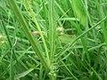 Crepis setosa leaf (02).jpg