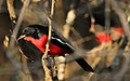 Crimson-breasted Shrike, Laniarius atrococcineus at Polokwane Nature Reserve, Polokwane, Limpopo, South Africa (14482305589).jpg