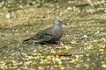 Croaking Ground-Dove - Ecuador S4E9737.jpg