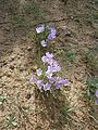 Crocus minimus group RHu.JPG