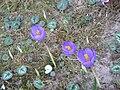 Crocus nudiflorus007.jpg