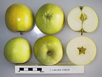 Cross section of Carlisle Codlin (of Bultitude), National Fruit Collection (acc. 1923-011).jpg