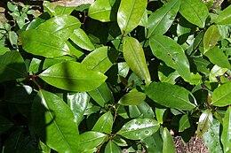 Cryptocarya glaucescens-seedlings2