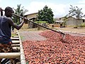 Cultivateur de cacao 01.jpg