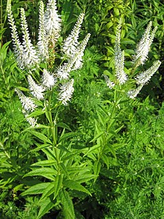 <i>Veronicastrum virginicum</i> species of plant