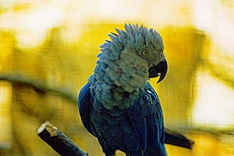 Spix's macaw - Adult in Vogelpark Walsrode, Germany in 1980 (approx)