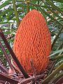 Cycas circinalis at Mayyil 2015 (1).jpg
