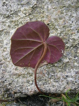 Cyclamen - Cyclamen coum - lower side of a leaf