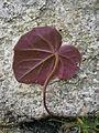 Cyclamen coum lower side leaf.JPG