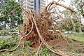 Cyclone Marcus in Darwin – Roots of huge uprooted tree 02.jpg