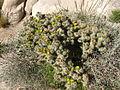 Cylindropuntia echinocarpa, Hidden Valley 2254 RobbHannawacker.jpg