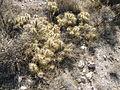 Cylindropuntia tunicata (5710006470).jpg