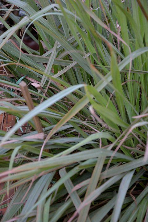 Cymbopogon Citratus Wikiwand