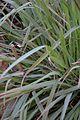 Cymbopogon citratus - Alipore - Kolkata 2013-02-10 4624.JPG