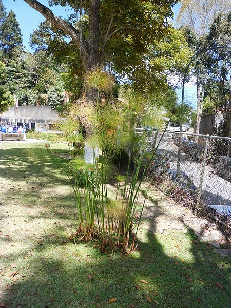 File:Cyperus papyrus Linnaeus - 2013 001.jpg