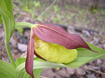 Cypripedium calceolus L.JPG