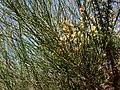 Cytisus scoparius & Ulex europaeus, Dordogne, France 02.jpg