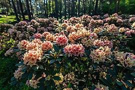 Dülmen, Welte, Rhododendronwald -- 2020 -- 6927.jpg