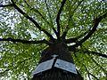 D-BW-RT ND Friedenslinde Kirchplatz Honau 02.jpg