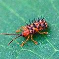 Dactylispa sp., Chrysomelidae.jpg