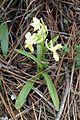 Dactylorhiza romana kz4.jpg