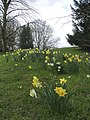 Daffodils at Hughenden Manor, Buckinghamshire - geograph.org.uk - 730926.jpg