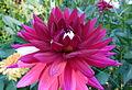 Dahlia concours international 2012 Parc Floral 15.JPG