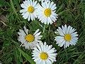 Daisy 2 (2484292286).jpg
