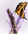 Dancing on Lavender (37789825).jpg