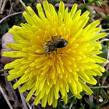 English: dandelion and bee