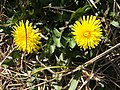 Dandelions on the beach-path - geograph.org.uk - 1222324.jpg