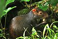 Dasyprocta leporina in Dominica-2011 11 05 0157.jpg