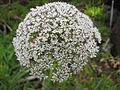 Daucus Carota ssp azorica (Flower).jpg