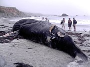 A dead Humpback washed up near Big Sur, California.