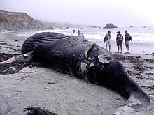 Photo of beached whale with observers in background