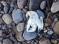 Dead Gannet with Fish in Mouth, May 25, 2019.jpg