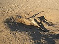 Dead Kudu at Three Sisters - panoramio.jpg