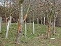Deer-damaged trees - geograph.org.uk - 1802366.jpg