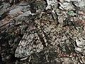 Deileptenia ribeata - Satin beauty - Дымчатая пяденица еловая (43788520471).jpg