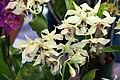 Dendrobium Bill Takamatsu 2zz.jpg