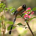 Dendrocitta vagabunda -Calicut-Kerala-India-8-3c.jpg