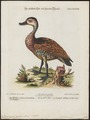 Dendrocygna arborea - 1700-1880 - Print - Iconographia Zoologica - Special Collections University of Amsterdam - UBA01 IZ17600259.tif